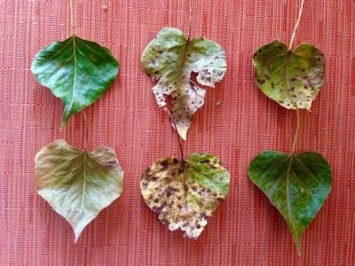 cottonwood leaf hearts